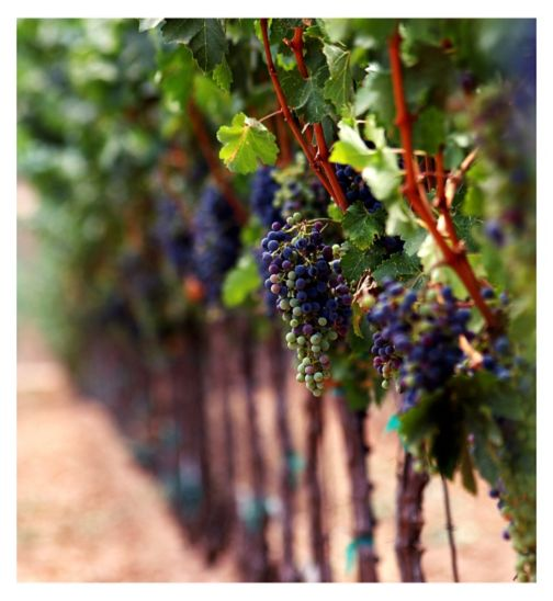 Vineyard Tour & Tastings For Two